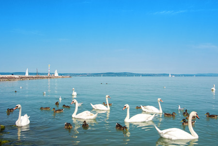 Water birds, swans, ducks and seagulls near the pier of Siofok in light bright water of Balaton lake with yachts and a coast at the background, Hungary.