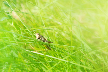 Little brown grasshopper sitting on a blade of grass in beautiful sunlight macro close-up background with blurred green soft focus artistic leaf texture. Copy space.