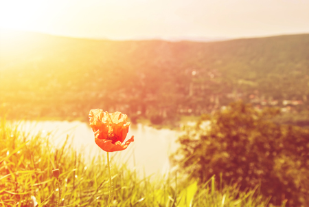 Flowering poppy in the green grass in evening yellow warm sun light with Danube river and mountains at the background, Visegrad, Hungary. Stock Photo