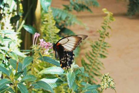 Tropical butterfly Great Mormon (Papilio memnon) sitting on pink flowers. 스톡 콘텐츠