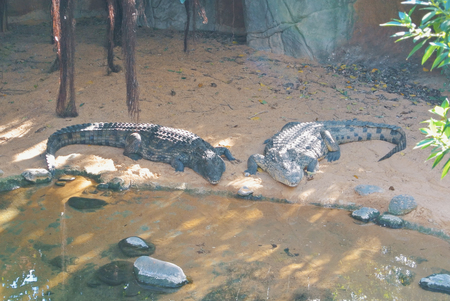 Two big crocodiles laying on the ground sand near the water at Biopark Fuengirola, Andalusia, Spain.