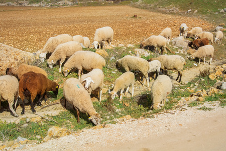 A herd of sheep and lambs greezing going along the path to the village, green grass, and plowed fields around. Ronda, Malaga province, Andalusia, Spain. Imagens