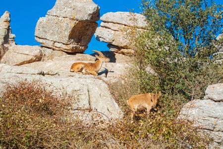 暖かい夕日の山の中の大きな石の頂上にイベリアアイベックス、スペインの野生のヤギのカップルのクローズアップビュー、エルトルカル自然公園