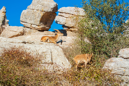Close-up view of a couple of Iberian ibex, Spanish wild goats, at the top of big stone in the mountains in the warm evening sunlight, El Torcal natural park, Andalusia, Malaga province, Spain Banco de Imagens