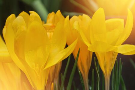 Close-up macro beautiful yellow lush vibrant crocuses, spring flowers on soft focus blurred toned bright green floral background. Gentle spring romantic artistic postcard image desktop wallpaper Stok Fotoğraf