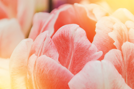 Close-up macro beautiful pink lush vibrant tulip petals, spring flowers on soft focus blurred toned floral background. Gentle spring romantic artistic postcard image desktop wallpaper