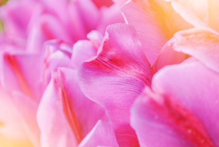 Close-up macro beautiful pink violet red lush vibrant tulip petals, spring flowers on soft focus blurred toned floral background. Gentle spring romantic artistic postcard image desktop wallpaper.
