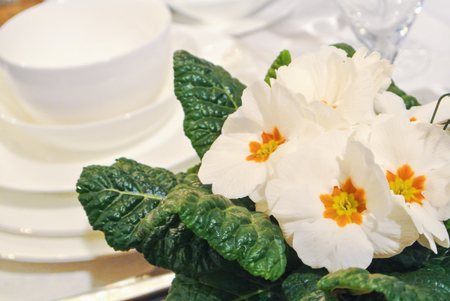 Beautiful flowering white primrose flower in a pot and white plates and cups at the background. Concept of buying spring flowers in pots for house, interior indoor decoration o for gifts.