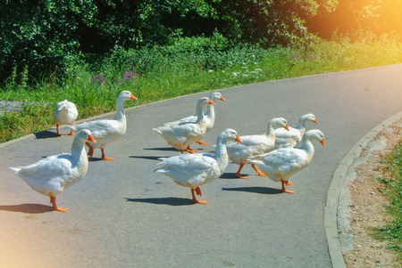 A group flock herd livestock of beautiful domestic white geese greezing crossing the asphalt road walking at the farm village lawn on sunny summer day, toned farmland background. 免版税图像