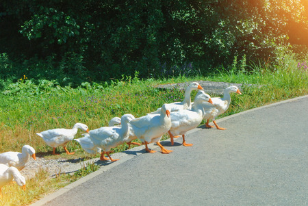 A group flock herd livestock of beautiful domestic white geese greezing crossing the asphalt road walking at the farm village lawn on sunny summer day, toned farmland background. Stock fotó