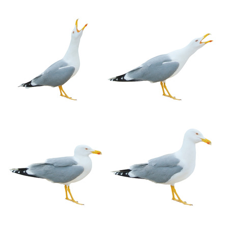 Close-up of big white seagulls standing screaming crying with open beak isolated on white background. 免版税图像