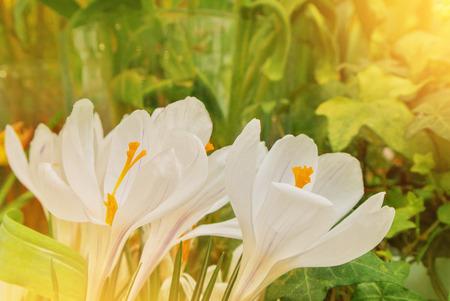 Close-up macro beautiful white lush vibrant white crocuses, spring flowers on soft focus blurred toned white green floral background. Gentle spring romantic artistic postcard image desktop wallpaper. 免版税图像