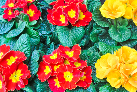 Rows of beautiful colorful flowering red and yellow primrose flowers with green leaves in the street market. Concept of buying flowers in pots for garden, for house o for gifts. 免版税图像