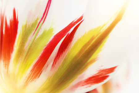 Close-up macro beautiful white red green lush vibrant tulip petals, spring flowers on soft focus blurred toned floral background. Gentle spring romantic artistic postcard image desktop wallpaper. 免版税图像