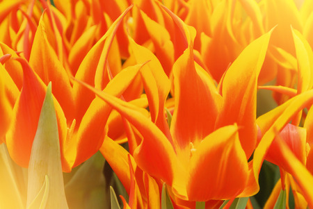 Close-up macro beautiful red orange yellow lush vibrant tulip petals, spring flowers on soft focus blurred toned floral background. Gentle spring romantic artistic postcard image desktop wallpaper.