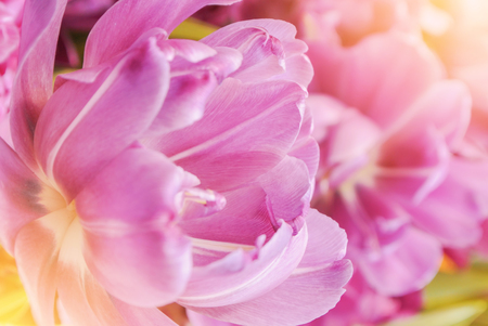 Close-up macro beautiful pink violet lush vibrant tulip petals, spring flowers on soft focus blurred toned floral background. Gentle spring romantic artistic postcard image desktop wallpaper.