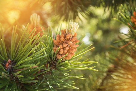 A green natural background with close-up view of a branch of pine flowering at the forest on sunny day, Kaliningrad region, Russia.