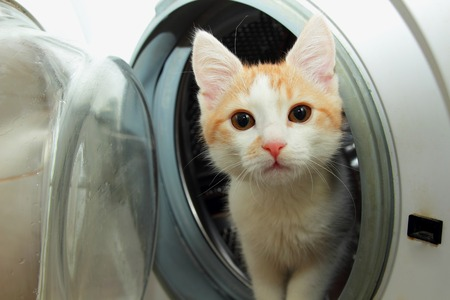climbed: Ginger kitten climbed into the washing machine and looks out of her