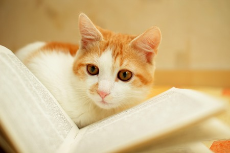 Red and white kitten attentively looks at the book  photo