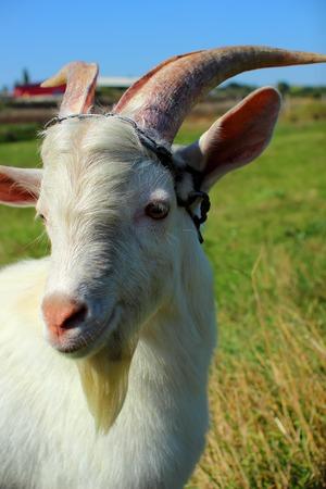 Young goat portrait  photo