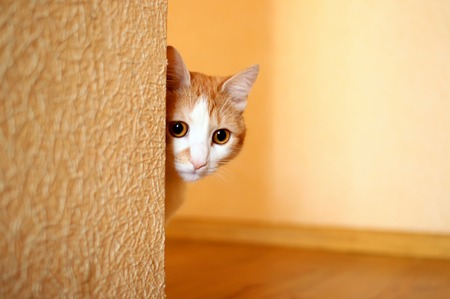 Housecat playing hide and seek