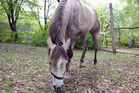 gray horse: Gray horse grazing in a meadow. Stock Photo