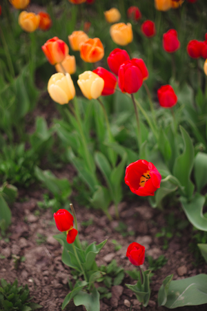 Close-up of multicolored yellow and red tulips flowers in the park on a blurred background