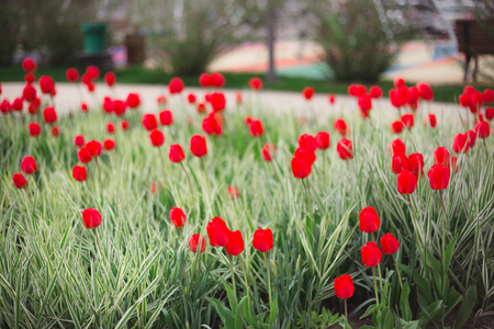 Close-up red tulips flowers among grass and greens on blurred background Imagens