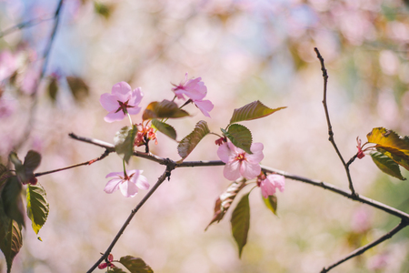 Close up sakura bloom, cherry blossom, cherry tree on a branch on a blurred green tree background