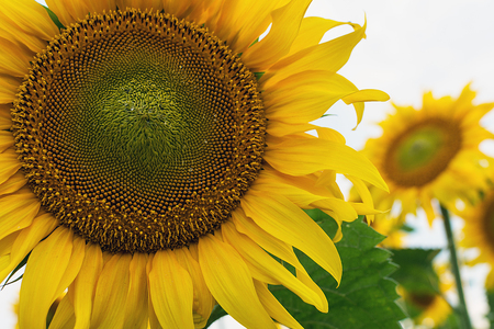 Beautiful yellow sunflowers blooming on the field. Close up. Stock Photo