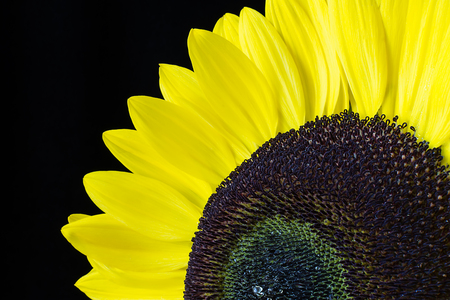 plantlife: Closeup of a yellow sunflower isolated on a black background
