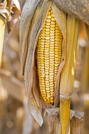elote: Mazorca de maíz en el campo. Espiga de trigo en el otoño antes de la cosecha. Concepto de la agricultura. Foto de archivo
