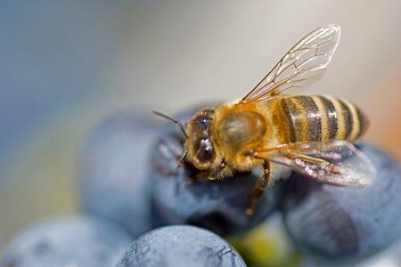 sucks: Bee on Grapes Close Up. Honey Bee Sucks Nectar From Purple Grapes Macro.