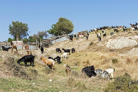 paisaje mediterraneo: Goats Grazing on the Hill. Mediterranean Landscape.