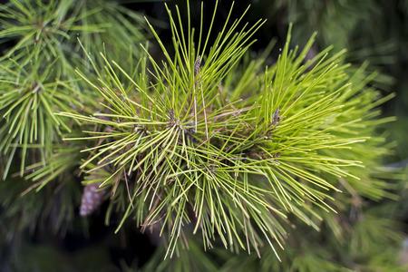 pine needles close up: Pine Needles Close Up Stock Photo
