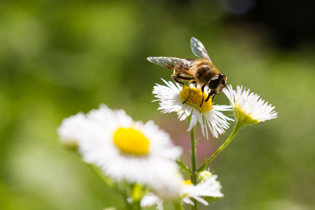 Honey Bee on Chamomile Flower Close Up