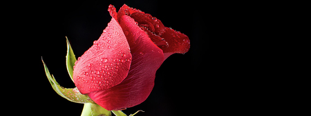 Beautiful and Fresh Red Rose Bathed in Morning Dew on a Black Background