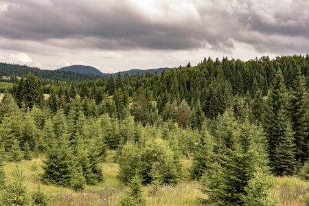 Pine Trees Forest Landscape and Green Meadow with Cloudy Sky. Tara National Park.