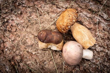 Wild Mushrooms on Rough Tree Bark Background. Nature and Edible Healthy Food Concept.