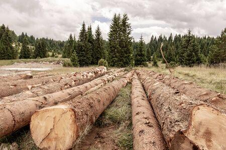 Felled Pine Trees in Forest. Deforestation Environmental Damage. Nature Destruction.