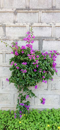Bougainvillea with brick wall background