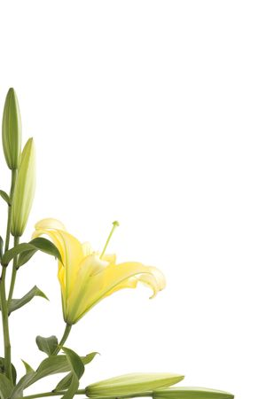 lily flower frame and green leaves, spring time Stock Photo - 7305790
