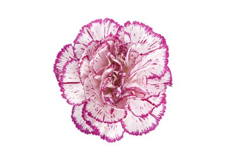 white and pink blooming carnation flower on white background photo