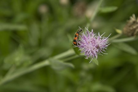 pollinate: red striped insect, pollinate on purple flower, on green nature background Stock Photo