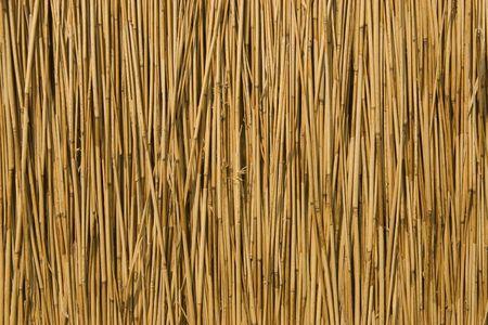 rietkraag: Vooraanzicht van het suikerriet droog, als achtergrond
