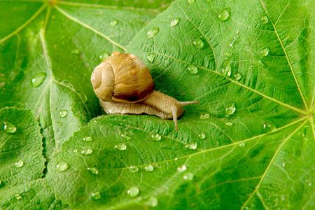 snail: After rain. Snail and water drops on green leaves