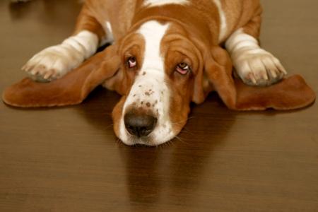 basset: perro de basset marr�n y blanco en el piso