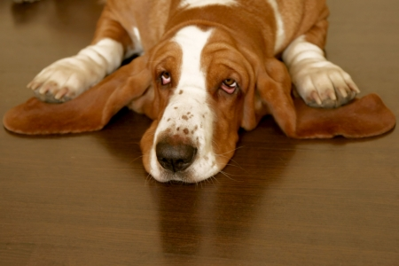 white and brown basset hound on the floor photo