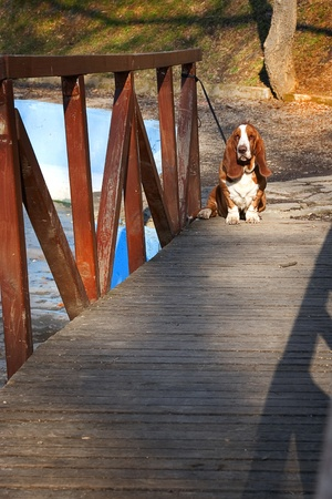 sad dog, basset hound on wooden bridge photo