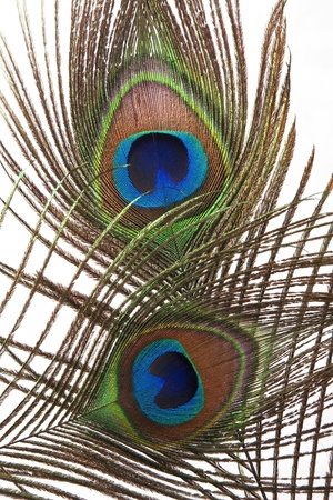 Detail of peacock feather eye on white background Stock Photo - 9724985